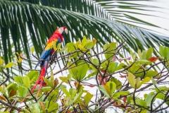 Perroquet, Costa Rica 2014