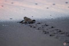 Bébé tortue